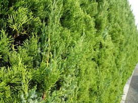 Jałowiec chiński w ogrodzie - odmiany, uprawa, choroby, porady