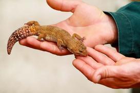 Cena gekona - zobacz, ile musisz zapłacić za to egzotyczne zwierzę