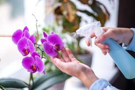 Choroby storczyków - 5 najczęstszych schorzeń i szkodników storczyków
