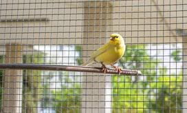 Ceny kanarków w sklepach zoologicznych - sprawdź, ile kosztuje młody ptak
