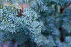 Jałowiec łuskowaty Blue Star - wymagania, uprawa, choroby