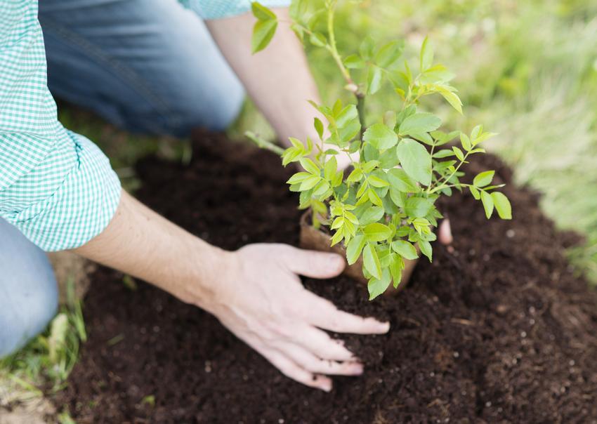 Uśredniony koszt sadzenia krzewów i mniejszych drzewek. Cena wraz z wykopaniem dołków pod rośliny.