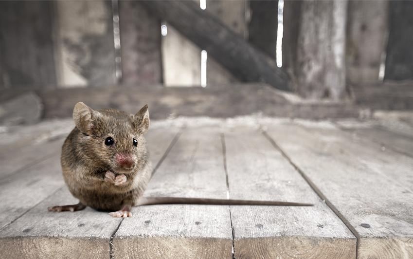 Średni koszt zwalczania myszy. Cena za trutkę i karmnik, bez usługi utylizacji padłych zwierząt.