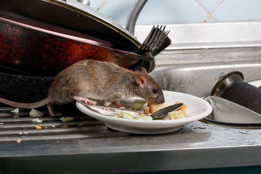 Średni koszt zwalczania szczurów. Cena za trutkę i karmnik bez usługi utylizacji padłych zwierząt.