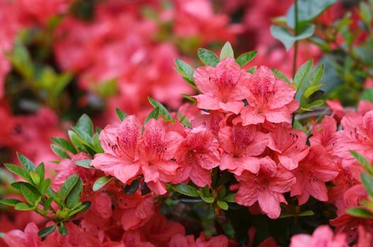 rododendrony i azalie